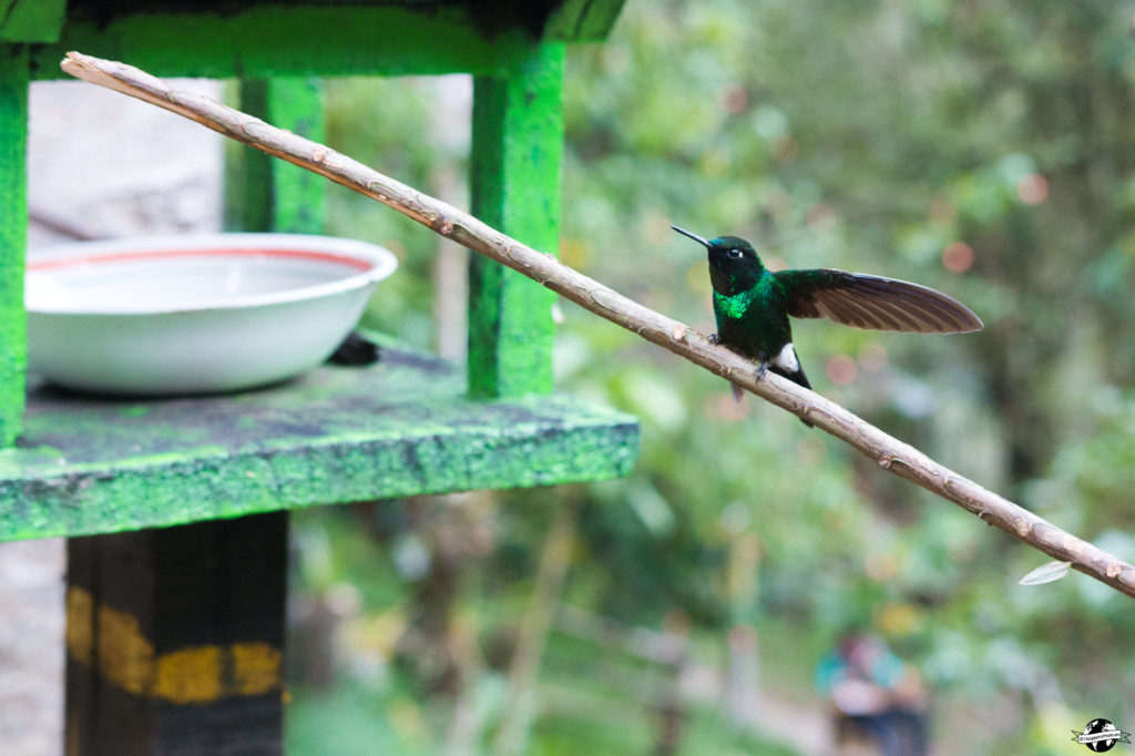 cocora colibris